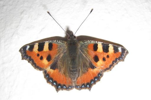 Besøgende sommerfugl