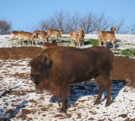 Bison og mufloner.