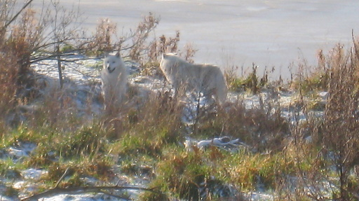 Hvide ulve.