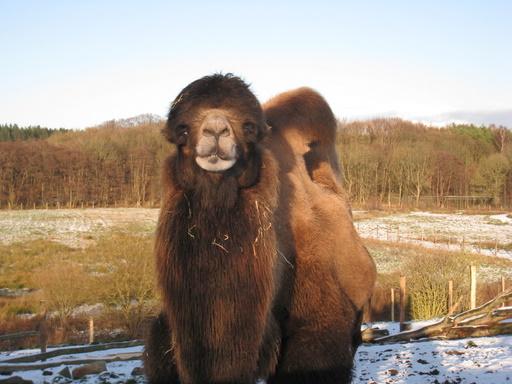 Venlig kamel, der er glad for at der er laaang tid til næste sæson.