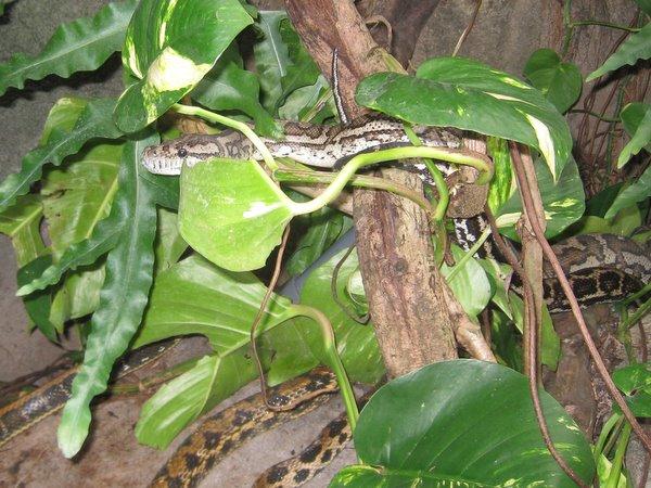 Skræmt slange.