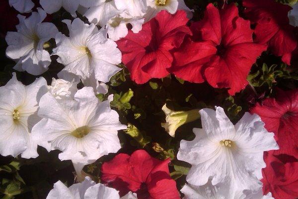 De klassiske røde og hvide petuniaer.