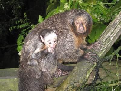 Sakimor med sin lille unge.